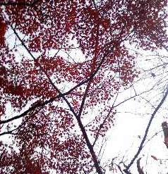 momiji2010.jpg