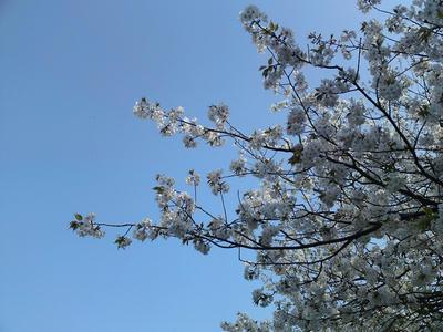 おしるこ屋さんの桜