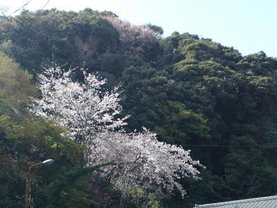 合流地点の桜