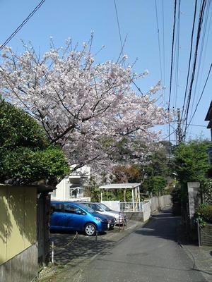 佐助稲荷道の桜