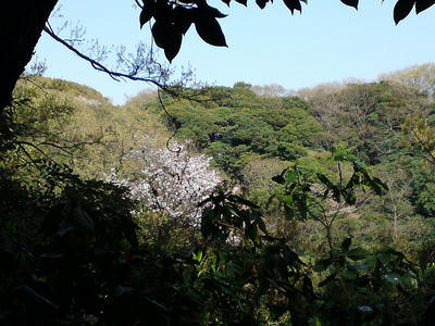 銭洗弁天の裏山の桜
