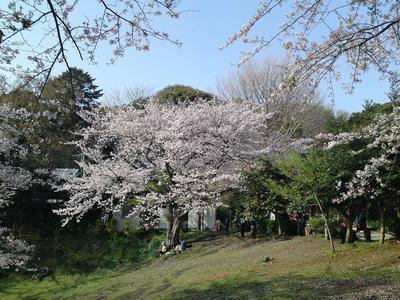 葛原岡神社の桜1