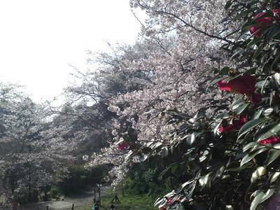 葛原岡神社の桜と椿