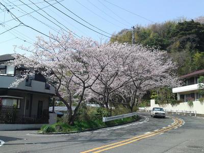 S字坂下の桜
