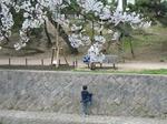 2007年、夙川でお花見