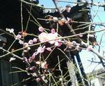 梅は咲いたか…桜