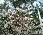 松阪市役所の桜