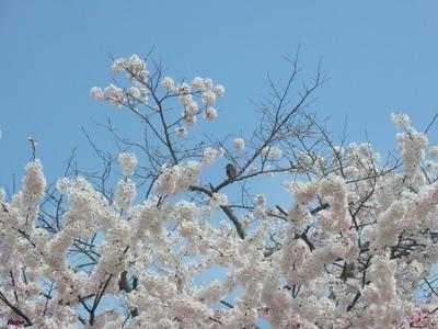 touemonsakura1.jpg