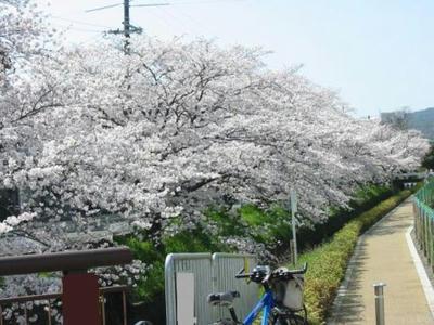 sakura05-arisugawa.jpg
