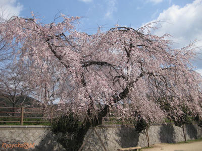 sakurakouen.jpg