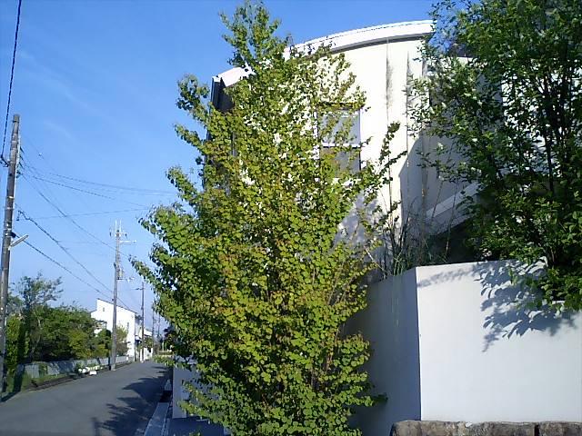 カツラ (植物)の画像 p1_25