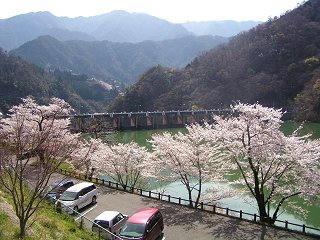 080405_0937_天龍村・平岡ダムのサクラ