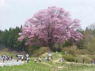 080427_1215_地蔵久保の大山桜