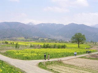 080427_1308_飯山市常盤の菜の花畑