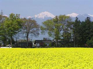 080429_1011_安曇野市豊科の安曇野スイス村前に咲く菜の花