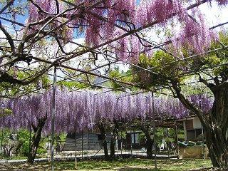 080503_1317_下伊那郡豊丘村の泉龍寺に咲くフジ