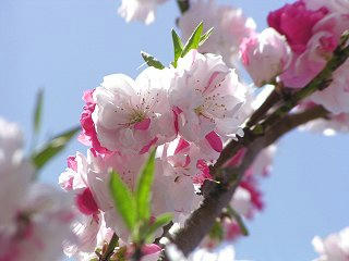 080504_1234_桃源院の花桃