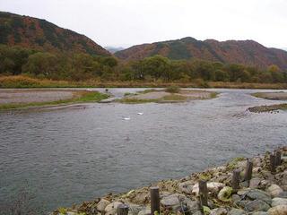081108_0939_犀川白鳥湖のコハクチョウ(安曇野市)
