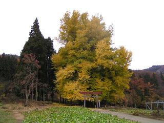 081124_1211_神戸の大いちょう(飯山市)