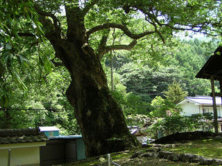 080719_1208_霊泉寺の大ケヤキ(上田市)