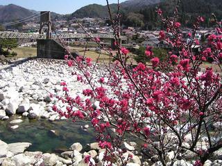 090411_0954_花桃と桃介橋(南木曽町)