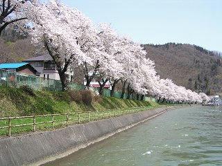 090419_1122_西大滝ダムのサクラ並木(飯山市)