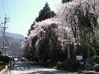 090411_1033_定勝寺のシダレザクラ(大桑村)