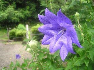 090802_1125_龍興寺清水に咲くアガバンサス(木島平村)
