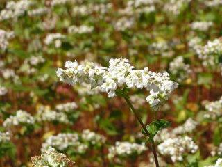 090920_1300_法印さんとそばの花まつり(山ノ内町須賀川)