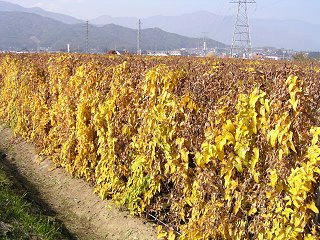 091031_1226_収穫期をむかえた長いも畑(山形村)