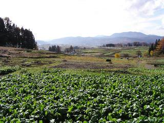 091115_1252_飯山市瑞穂の野沢菜畑(飯山市)