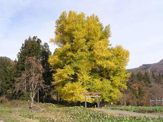 091124_1136_神戸のイチョウ(飯山市)