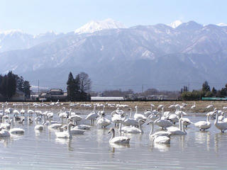 100314_1316_安曇野市穂高の水田で休む白鳥(安曇野市)