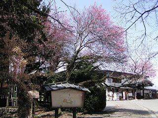100320_1147_穂高神社の紅梅(安曇野市)