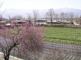 100320_1209_大王わさび農場に咲く紅梅(安曇野市)