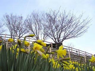 100327_1542_信州国際音楽村・すいせんまつり2010(上田市)