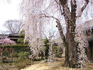 100418_1330_豪商の館 田中本家博物館に咲くシダレザクラ(須坂市)