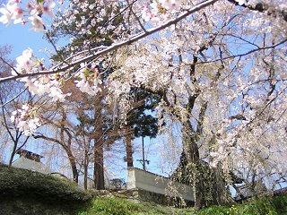 100424_1229_篠ノ井小松原の光林寺のサクラ(長野市)