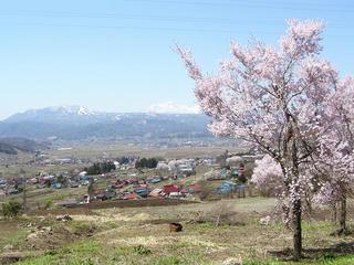 100425_1148_木島平村原大沢地区の咲く福寿草(木島平村)