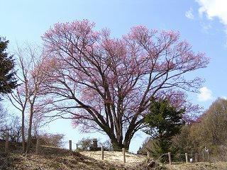 100501_0911_地蔵久保のオオヤマザクラ(飯綱町)