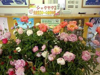 100502_1511_信州中野観光センターに展示されたシャクヤク(中野市)