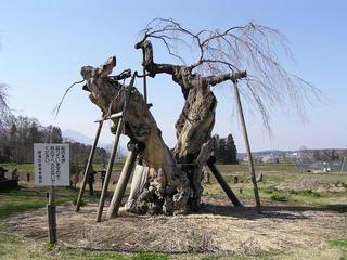 100503_1509__原のシダレザクラ・閑貞桜(信濃町)