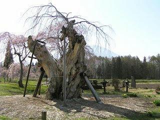 100503_1511_原のシダレザクラ・閑貞桜(信濃町)