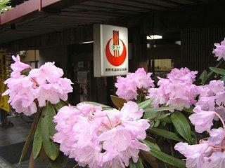 100508_1656_穂高温泉郷に咲くしゃくなげ(安曇野市)