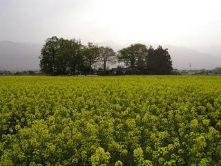 100508_1721_安曇野スイス村にある菜の花畑(安曇野市)