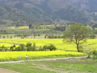 100509_1154_飯山市常盤の国土117号線から望む菜の花村と菜の花公園の様子(飯山市)