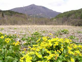 100516_1044_大谷地湿原のリュウキンカ(長野市)