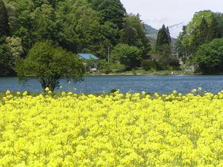 100529_1323_中綱湖畔の菜の花(大町市)