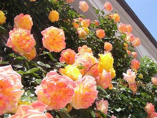 100605_1219_豊科近代美術館に咲くバラ(安曇野市)