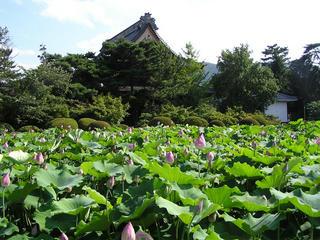 100724_1547_信濃国分寺のハス(上田市)